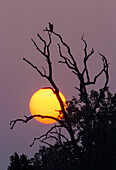 A Indian Vulture (Gyps indicus) sits in a tree at sunset in India's Bandhavgarh National Park.