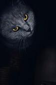 Chartreux cat standing in front of the door