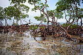 a tall cluster of mangroves grow out of the sand