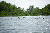 new mangrove saplings grow out of the water with larger mangroves in the background
