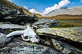 Animal skull in a valley near Saas Fee, Piemote, Italy.