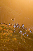 Atlantic puffin - Fratercula arctica - Colony of Puffins,Skokholm island  in late evening sunlight. June