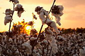 Agriculture - Mature open harvest stage cotton bolls at sunset / Eastern Arkansas, USA.