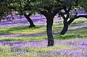 'Cork trees and violet wildflowers, near Terena; Alentejo, Portugal'