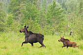 'Moose with a young calf; Thunder Bay, Ontario, Canada'