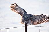 'Great Grey Owl (Strix nebulosa) landing on a post; Thunder Bay, Ontario, Canada'