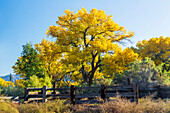 'Colourful autumn cottonwood trees with yellow leaves and an old wooden fence in the foreground; Palisade, Colorado, United States of America'