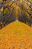 'Two rows of peach trees in autumn foliage with yellow leaves covering the ground; Palisade, Colorado, United States of America'