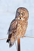 'Great grey owl (Strix nebulosa) sitting on a fence post; Thunder Bay, Ontario, Canada'