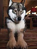 'Portrait of a huskie with brown and blue eyes, in chalet; Switzerland'