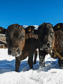 'Group portrait of two young, brown and black Heren calves in snowy field; Zinal village, Switzerland'