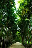 'A path lined with tall, lush palm trees; Ulpotha, Embogama, Sri Lanka'