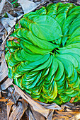 'Bright green leaves laid out in a spiral design in a pile; Ulpotha, Embogama, Sri Lanka'