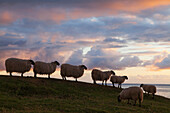 'Sheep on a hillside at sunset, near Kilmaluag; Isle of Skye, Scotland'