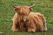 'Highland cattle, near Kilmaluag; Isle of Skye, Scotland'