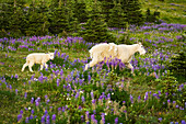 'Mountain goat (Oreamnos americanus) nanny and kid in an alpine meadow; Washington, United States of America'
