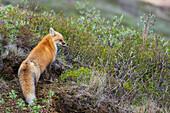 'Red fox (vulpes vulpes) in Denali National Park in springtime; Alaska, United States of America'