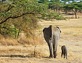 'An African Elephant with it's young; Tanzania'