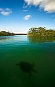 'Pacific green turtle swimming in mangroves; Isabela Island, Galapagos Islands, Ecuador'
