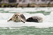 'Harbor Seals (Phoca vitulina) hauled out on iceberg in front of Dawes Glacier in Endicott Arm or Tracy Arm-Fords Terror Wildernesss in Southeast Alaska, South of Juneau; Alaska, United States of America'