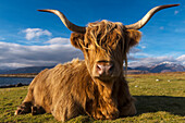 'Highland cow sitting beside Cuil beach; Argyll, Scotland'