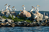 'A flock of pelicans perched on rocks at the water's edge; Kenora, Ontario, Canada'