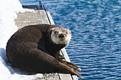 Sea otter laying on dock in Whittier, Southcentral Alaska, Spring