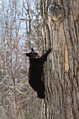 Bears. Black bears in Anchorage, Alaska. Spring. Southcentral Alaska. A playful cub climbs around the cottonwood tree. Its den is in the broken off cottonwood tree.