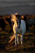 'Icelandic horse at sunset with long mane blowing in the wind; Iceland'
