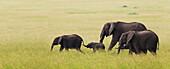 'Elephant family on the move across the serengeti plain; South Africa'