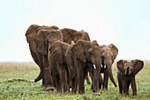 'A family of elephants strolls across the serengeti plains; South Africa'