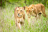 'Two female lions on the prowl at the serengeti plains; Tanzania'
