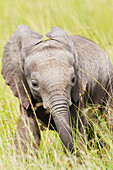 'Baby elephant in tall grasses in the serengeti plains; Tanzania'