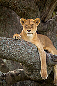'Lioness resting in a tree at the serengeti plains; Tanzania'