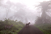 '3 zebras in foggy forest at Ngorongoro Crater; Tanzania'