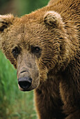 'Brown bear (Ursus arctos) portrait, extreme close up, McNeil River State Game Sanctuary; Alaska, United States of America'