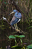 'Tricoloured heron (Egretta tricolor) perched on branch above wetland pond with water lilies, Everglades National Park; Florida, United States of America'