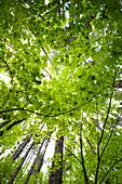 'Vine maple canopy; Washington, United States of America'
