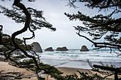 'Sitka Spruce frames the beach; Cannon Beach, Oregon, United States of America'