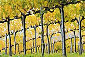 'Vines on slopes; San Gimignano, Tuscany, Italy'