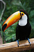 'A toucan in the Parque das Aves (bird park); Iguacu, Brazil'
