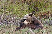 'Brown Bear (Ursus arctos) near park road in Denali National Park, early summer, Interior Alaska; Alaska, United States of America'