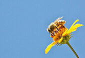 'A bee is busy pollenating flowers as it goes about it's job collecting pollen; Bolivia'