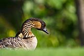 'Nene, also known as Hawaiian Goose (Branta sandvicensis), State bird of Hawaii; Maui, Hawaii, United States of America'