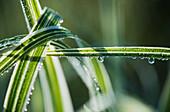 'Dew clings to ornamental grass; Astoria, Oregon, United States of America'
