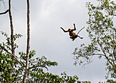 Proboscis monkey or long-nosed monkey (Nasalis larvatus) jumping from tree to tree in Tanjung Puting National Park, Central Kalimantan, Borneo, Indonesia