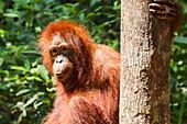 Juvenile Bornean orangutan (Pongo pygmaeus) at Pondok Tanggui, Tanjung Puting National Park, Central Kalimantan, Borneo, Indonesia