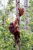 Female and juvenile Bornean orangutan (Pongo pygmaeus) at Camp Leaky, Tanjung Puting National Park, Central Kalimantan, Borneo, Indonesia