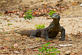 Komodo dragon or Komodo monitor (Varanus komodoensis) on Rinca Island, Komodo National Park, East Nusa Tenggara, Indonesia