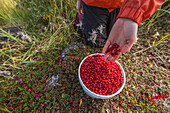 'Woman's hand filling buckets full of wild cranberries on the shore of Hudson Bay; Manitoba, Canada'